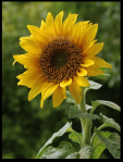 Sunflowers-Screensaver_1
